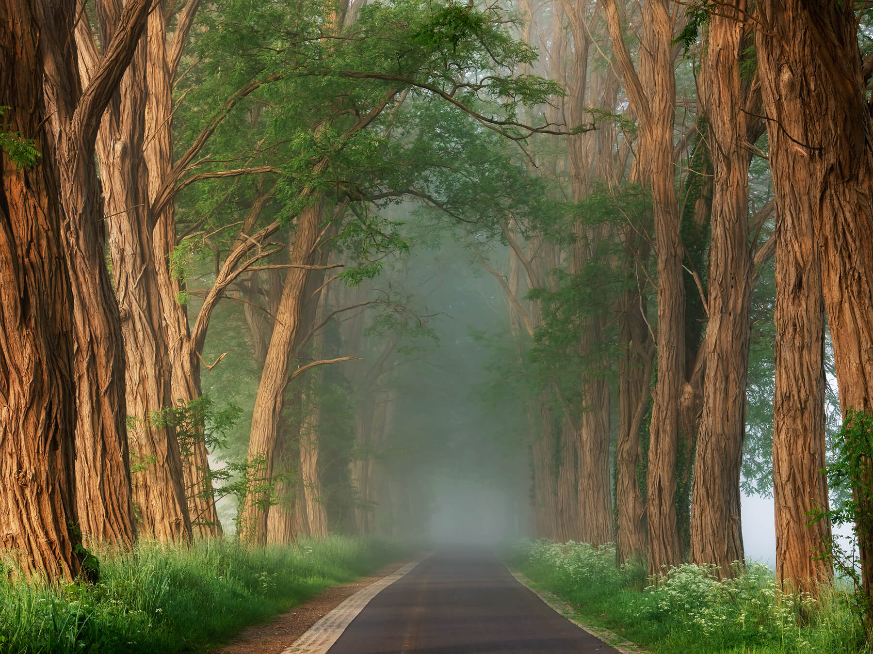 Acacias in the Mist